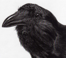 Northwestern Crow.  This is a carbon dust drawing made from a taxidermied mount.